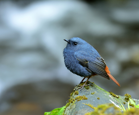 fascinate: Male of Plumbeous water redstart (Rhyacornis fuliginosa) the chubby blue bird standing on the rock in the steam, lovely bird