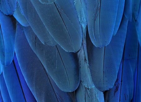 ararauna: The exotic blue background, the texture of blue-and-yellow macaw feathers (Ara ararauna) in close up