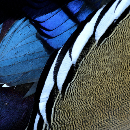 aix galericulata: Close up beautiful brown and bue with black and white cross lines background and texture of Mandarin duck (aix galericulata) feathers, exotic nature texture Stock Photo