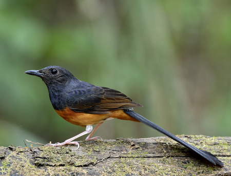 white tail: White-rumped shama (Copsychus malabaricus) the beautiful orange chest, long white tail and black head standing on the wooden log with very sharp in feathers details