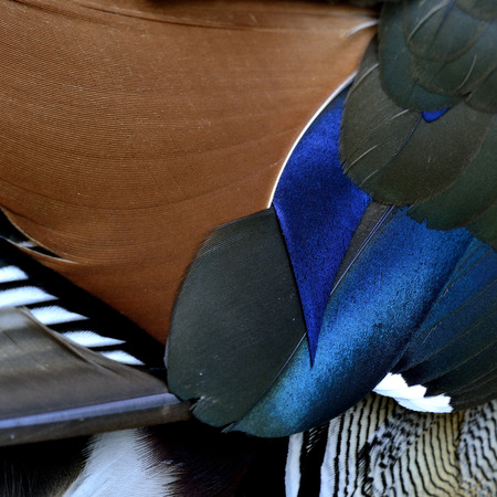 aix galericulata: Beautiful brown black and blue background and texture of Mandarin duck (aix galericulata) feathers, exotic nature texture