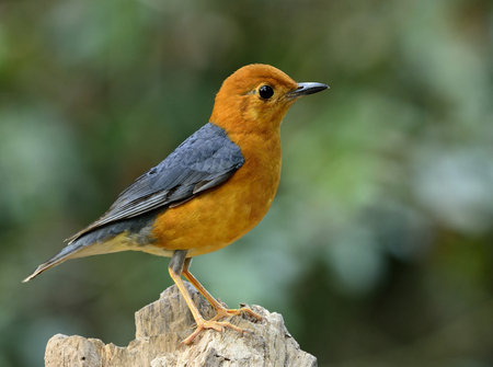 fascinate: Orange-headed thrush (Geokichla citrina) the beautiful orange and grey wings bird perching on top of the log Stock Photo
