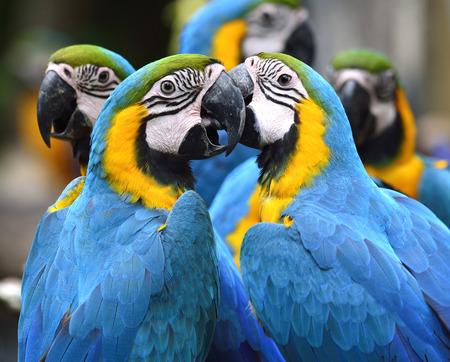 Flock of lovely blue-and-yellow macaw parrot birds (Ara ararauna) known as the blue-and-gold macaw sitting together