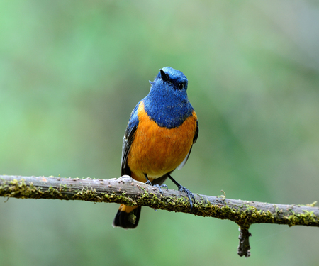 Beautiful blue bird, the Blue-fronted Redstart (Phoenicurus frontalis) perching on the branch showing it ornage chest feathers on fine green background Imagens