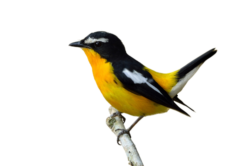 wagging: Male of Yellow-rumped flycatcher (Ficedula zanthopygia) the beautiful yellow bird wagging its tail isolated on white background, exotic nature Stock Photo