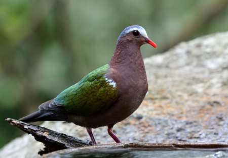red bills: The common emerald dove (Chalcophaps indica) the colorful green bird with red bills standing beside the water pool on the rock
