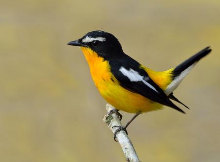 wagging: Male of Yellow-rumped flycatcher (Ficedula zanthopygia) the beautiful yellow bird wagging its tail, exotic nature