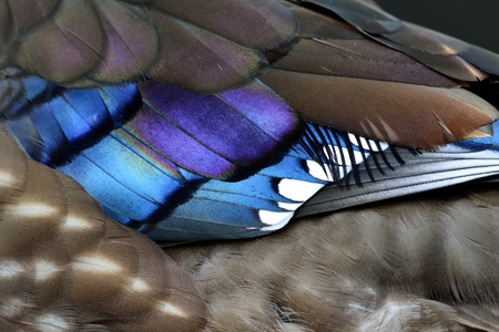 bird feathers: Corlorful feathers of Mandarin duck (aix galericulata) the exotic and colorful bird