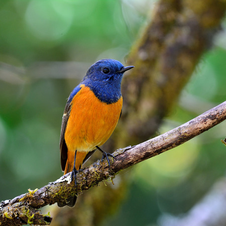 Blue-fronted redstart (Phoenicurus frontalis) the colorful blue bird with orange belly perching on dried branch showing its orange feathers
