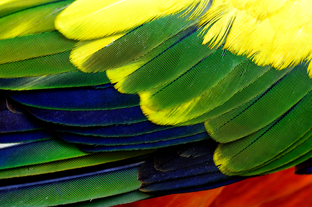 wil: The dirty texture of Sun Conure parrot bird feathers, yellow green blue and orange bird feathers Stock Photo