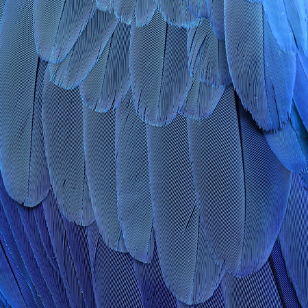bird feathers: The beautiful texture of blue-and-yellow macaw parrot bird feathers (Ara ararauna) in close up