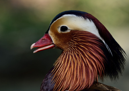 aix galericulata: Face of Mandarin duck (aix galericulata) the exotic and colorful bird