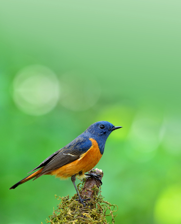 fascinate: Blue-fronted redstart (Phoenicurus frontalis) the colorful blue bird with orange belly perching on the mossy pole on blur green background and bright bokeh behind Stock Photo