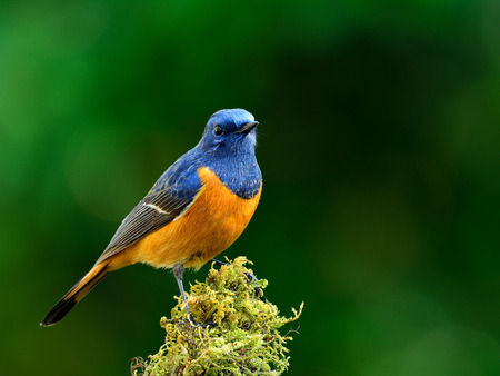 Beautiful blue bird, the Blue-fronted Redstart (Phoenicurus frontalis) standing on the mossy spot on blur dark green background Фото со стока