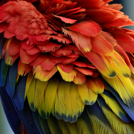 ararauna: The Puffy feathers of Scarlet Macaw parrot bird, colorful bird feathers
