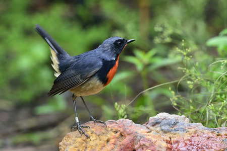 fascinate: Red neck bird, firethroat (Luscinia pectardens) the beautiful grey and blue bird with fire corlor on his chest perching on the rock with ring band on his leg showing its tail lifting up