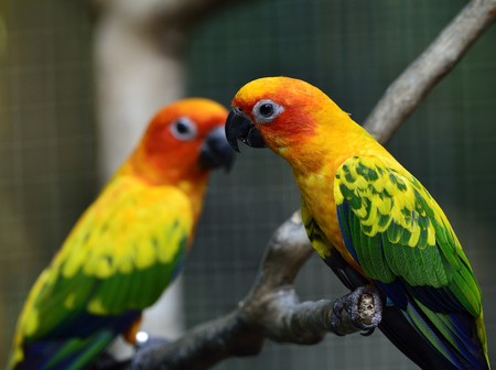wil: Sweet pairs of Sun parakeet or sun conure (Aratinga solstitialis) the lovely yellow with green and blue parrot birds perching on the branch in the cage