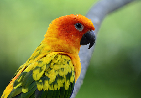 wil: Close up of Sun parakeet or sun conure (Aratinga solstitialis) the lovely yellow with green and blue parrot birds perching on the branch Stock Photo