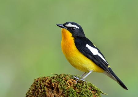 inter: The Male of Yellow-rumped flycatcher (Ficedula zanthopygia) the most beautiful yellow bird perching on mossy top, fascinated nature