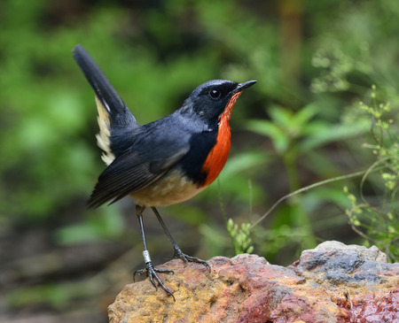 Firethroat (Luscinia pectardens) the beautiful grey and blue bird with fire look on his chest standing on the rock with moving tail up high, happy bird