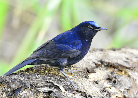 inter: The white-tailed robin (Cinclidium leucurum), the beautiful dark blue bird standing on the wooden, exotic nature