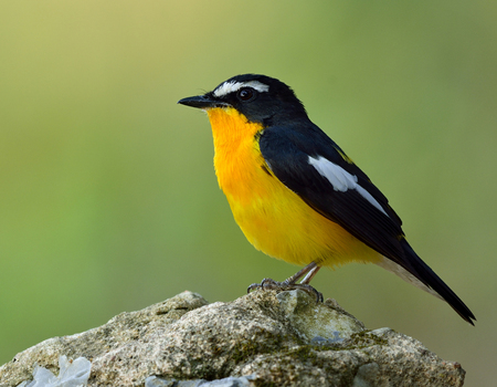 inter: Yellow-rumped flycatcher (Ficedula zanthopygia) the beautiful black bird with yellow belly and rump standing on the rock with nice green blur background Stock Photo