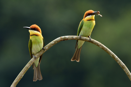 body curve: Sweet pair of Chestnut-headed bee-eater (Merops leschenaulti) the beautiful orange head, green body and blue tail birds perching on the curve branch together Stock Photo