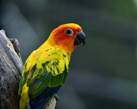wil: Portrait of Sun parakeet or sun conure (Aratinga solstitialis) the beautifulyellow parrot bird perching on the log showing its back feathers, beautiful nature Stock Photo