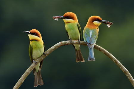 body curve: Three of  Chestnut-headed bee-eater (Merops leschenaulti) the beautiful orange head, green body and blue tail birds perching on the curve branch together