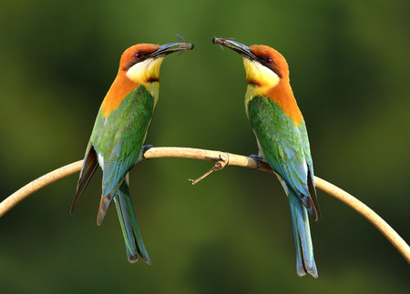 fascinate: Pair of Chestnut-headed bee-eater (Merops leschenaulti) beautiful orange head, green wings and blue tail birds perching on the curve bamboo branch carrying insect in their bills waiting to feed the chicks