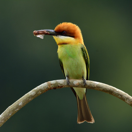 body curve: Chestnut-headed bee-eater (Merops leschenaulti) the beautiful orange head, green body and blue tail birds perching on the curve branch picking the bee in his bills to feed its chicks