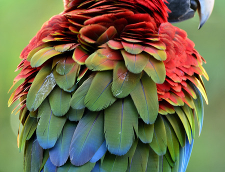 avian: Beautiful puffy feathers of Green-winged macaw parrot bird, red yellow and blue bird texture