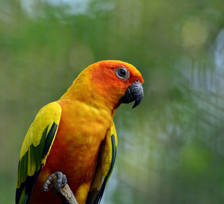 wil: Sun parakeet or sun conure (Aratinga solstitialis) the lovely yellow parrot bird perching on the stick with crossed green background Stock Photo