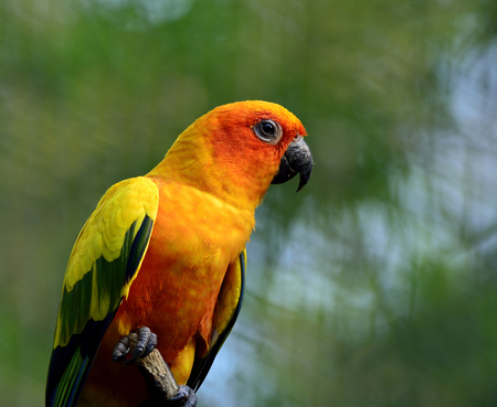 wil: Sun Conure or Sun Parakeet (Aratinga solstitialis) the lovely yellow with green and blue parrot birds perching on the branch top on green blur background