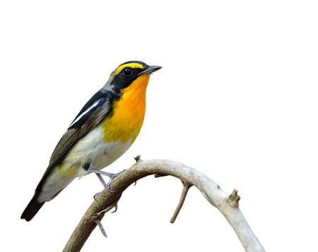 fascinate: Narcissus Flycatcher (ficedula zanthopygia) the beautiful yellow with black and grey feathers perching on the curve stick isolated on white background Stock Photo
