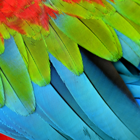 ararauna: the beautiful blue green and red texture of Green-winged macaw bird feathers, exotic colorful background Stock Photo