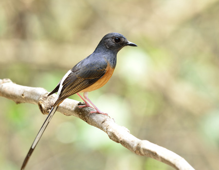 white tail: Female of White-rumped shama (Copsychus malabaricus) the beautiful orange chest with long white tail and black head perching on the branch