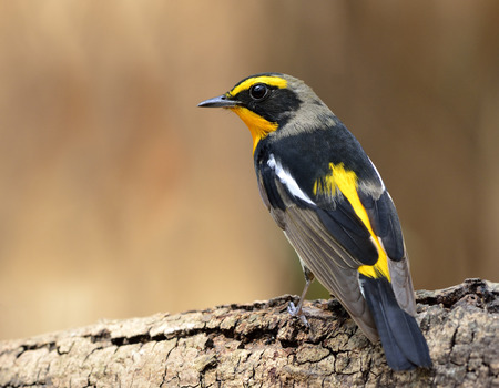 fascinate: Male of Narcissus Flycatcher (ficedula zanthopygia) the beautiful yellow with black and grey color standing on the log showing its back feathers profile