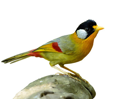 leiothrix: Silver-eared Mesia (Leiothrix argentauris) the beautiful yellow bird and silver on its ears standing on the log isolated on white background