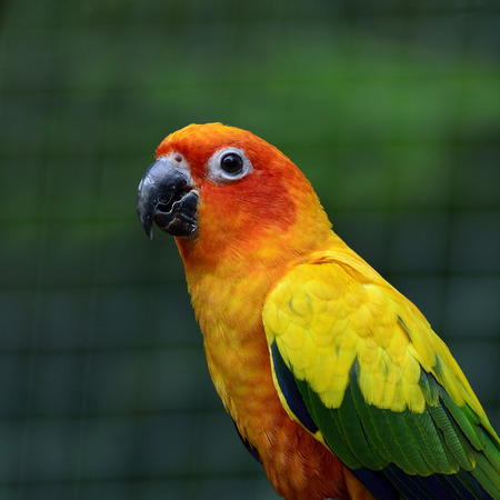 wil: Sun Conure or Sun Parakeet (Aratinga solstitialis) the lovely yellow with green and blue parrot birds on cross green background