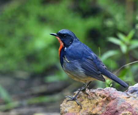 fascinate: Firethroat (Luscinia pectardens) the beautiful grey and blue bird with fire look on his chest standing on the rock with sharp on its feathers, the exotic bird