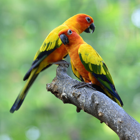 wil: Sun parakeet or sun conure (Aratinga solstitialis) the lovely yellow with green and blue parrot birds perching on the branch in sweet moment Stock Photo