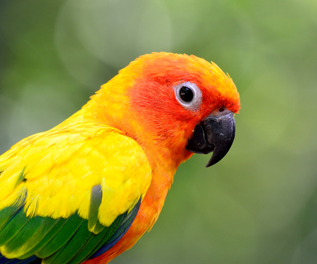 wil: Face shot of Sun Conure or Sun Parakeet (Aratinga solstitialis) the lovely yellow with green and blue parrot birds on green blur background Stock Photo