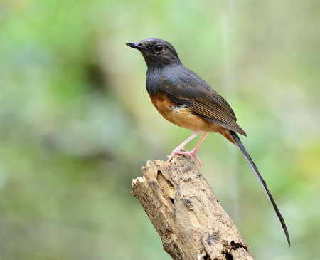 white tail: White-rumped shama (Copsychus malabaricus) the beautiful orange chest with long white tail and black head perching on log top on nice green blur background Stock Photo