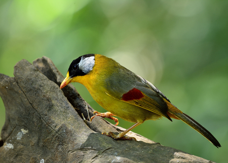 leiothrix: Silver-eared Mesia (Leiothrix argentauris) the beautiful yellow bird and silver on its ears standing on the log looking for meals Stock Photo