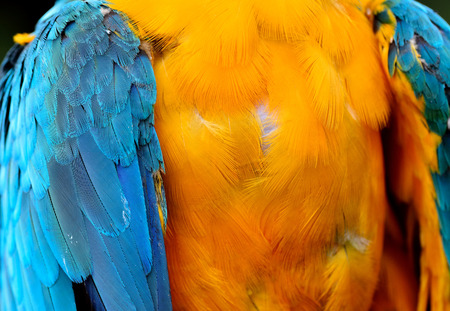 avian: The beautiful yellow and blue of Blue-and-gold Macaw parrot bird wing feathers, amazing texture of bird chest feathers