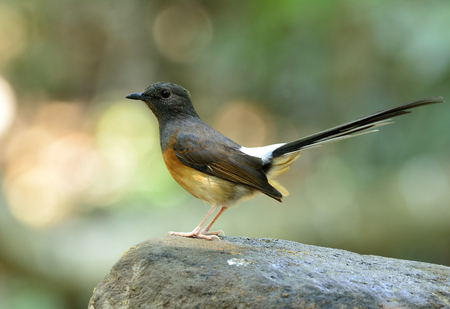 white tail: Female of White-rumped shama (Copsychus malabaricus) the beautiful bird with long white tail and black head perching on the rock Stock Photo
