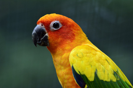 wil: Portrait of Sun parakeet or sun conure (Aratinga solstitialis) the lovely yellow parrot birdwith moving lower bill, beautiful nature