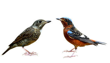 male animal: Pair of both female and male of white-throated rock thrush (Monticola gularis) the beautiful birds fully standing isolated on white background, happy birds
