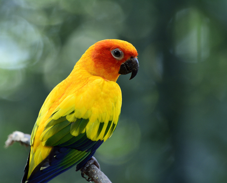wil: Sun parakeet or sun conure (Aratinga solstitialis) the lovely yellow with green and blue parrot birds perching on the branch showing its side feathers profile Stock Photo